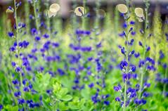 baptisia (kderricotte) Tags: plant flower purple bokeh outdoor depthoffield baptisia vintagelens helios44m458mmf2 sonya6000