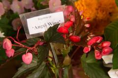 'Angel Wing' Begonia