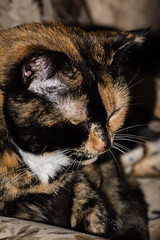 Isis, Portrait (Donald.Gallagher) Tags: usa cats color nature animals vertical de spring tortoiseshell northamerica felines delaware mammals isis typeportrait pikecreek woodcreek