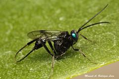 IMG_8615e (Manuel Balczar Lara) Tags: mxico wasp bandera colima ensign avispa evaniidae