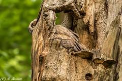 Peek a boo (Ronda Hamm) Tags: bird nature canon outdoors nest peekaboo wildlife feathers owl illusions camoflauge birdofprey greathornedowl owlet 7dmarkii 100400mkii