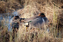 Green Winged Teal Napping (ceriksson) Tags: canada birds spring nt birding nwt northwestterritories yellowknife greenwingedteal ornothology anascarolinensis nivenlake