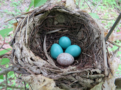 Wood Thrush Nest (Quakertown Swamp) (stinkenroboter) Tags: bird nest egg brownheadedcowbird molothrusater woodthrush hylocichlamustelina