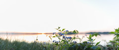 Calmness of White and Blue (Teppo Kotirinta) Tags: flowers trees sunset sea sun blur nature water canon helsinki dof bokeh luonto sigma20mm14 suomenluonto sigmaart