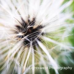 #Dandelion in #macro. (LightsweptPhotography) Tags: white flower macro nature floral whiteflower dandelion wildflower summerflower lightswept lightsweptphotography