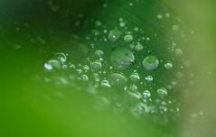 Water drop (Denis Vandewalle) Tags: macro green nature water rain eau pluie macrophotography pentaxk5