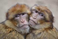 Barbary macaque @ Ouwehands Dierenpark 21-03-2016 (Maxime de Boer) Tags: animals zoo monkey dieren aap rhenen ouwehands macaque dierentuin dierenpark barbary macaca berberaap ouwehand sylvanus