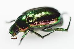 koganemushiml_ds8_3704 (takao-bw) Tags: japan insect beetle coleoptera scarabbeetle
