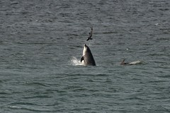 IMG7_58515 (walter.innes) Tags: dolphin harbourporpoise walterinnes