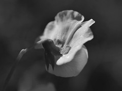 (robra shotography []O]) Tags: bw flower macro primavera monochrome closeup droplets nikon dew pea fiore rugiada anythinggoes springtime pisello primelens afmicro60mmf28d macromondays d7000