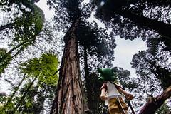 IMG_3581.jpg (edcool1_1) Tags: yotsuba yotsubato revoltech yotsubayosemite         neldergrove shadowofthegiants sequoia redwood giantredwoods forest trees
