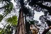 IMG_3581.jpg (edcool1_1) Tags: yotsuba yotsubato revoltech yotsubayosemite よつば よつばと よつば& リボルテック よつばとヨセミテ国立公園 よつばとヨセミテ よつば&ヨセミテ国立公園 よつば&ヨセミテ neldergrove shadowofthegiants sequoia redwood giantredwoods forest trees