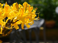 azalea profile (mark.griffin52) Tags: england flower yellow garden buckinghamshire azalea cheddington olympusem5