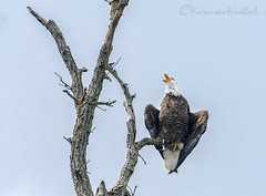 The Eagle Has Landed... (KvonK) Tags: wild hot nature eagle baldeagle sunny handheld perched cooling 14xteleconvertor nikond500 kvonk may2016 nikon200to500mm