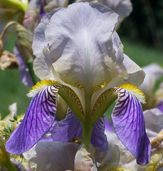 Iris (downstreamer) Tags: flower macro flowersplants contaxg45mmf2