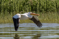 June 4, 2016 - A Pelican in flight at Jackson Lake State Park. (Tony's Takes)