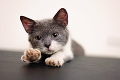 Cutest kitty stretch ever (Silver Nicte) Tags: animal mascota gato cat gatito kitty paws canon silvernicte 50mm canont2i pet 18 white grey blanco gris    kitten       brisa cute tierno