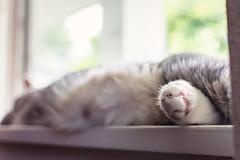 paw (jojoannabanana) Tags: window cat fur paw toes nap bokeh tabby catnap windowsill 3662016