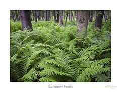 Summer Ferns (baldwinm16) Tags: summer green nature june woodland season illinois woods midwest il ferns natureofthingsphotography