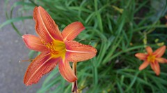 Orange Lily on My Walk: 161/365 (June 9) - #365day #closeup #panasonic #flowers #panasonicgm5 - Panasonic GM-5 with 12-32mm @ 12mm (billbooz) Tags: flowers closeup panasonic 365day panasonicgm5