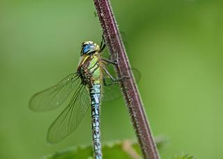 Hairy Dragonfly DSC_3411