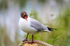 Black-headed gull (nemi1968) Tags: blackheadedgull canon canon5dmarkiii ef100400mmf4556lisiiusm hettemke markiii oslo beak bird closeup feather feathers giull mke portrait ngc specanimal npc