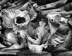 Gladioli (claudiov958) Tags: blackandwhite bw blancoynegro film studio 4x5 pretoebranco largeformat biancoenero gladiolus selfdeveloped fp4plus sinarf2 epsonperfectionv750pro photoka claudiovaldes sinaronws210156