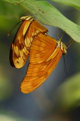 Julias Dryas (Rene Mensen) Tags: julia dryas d5100 drenthe dierentuin dierenpark nikon nikkor netherlands wildlands rene mensen mariposa schmetterlinge vlinder vlindertuin butterfly orange