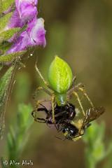 Green Lynx Spider (Peucetia longipalpis) - Female with bumble bee (aliceinwl1) Tags: arachnid arachnida araneae araneomorphae arthropod arthropoda ca california drumcanyon entelegynes greenlynxspider lompoc lynxspider oxyopidae peucetia peucetialongipalpis santabarbaracounty locpublic longipalpis spider truespider viseveryone