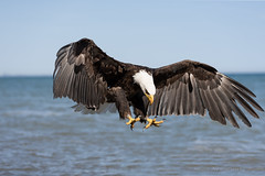 Ready or not here I come (Susan Newgewirtz) Tags: nature eagle raptor americanbaldeagle wildlifephotography worldsbestnikonshots nikond750
