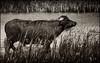 Buffo_2 (borowski.peter) Tags: büffel bufallo wasserbüffel water