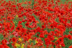 Poppy Field Near Northallerton (Eeee Bi Gum) Tags: flowers england unitedkingdom poppy northyorkshire lestweforget poppyfield northallerton