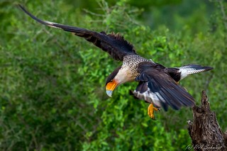 Crested Caracara makes his move