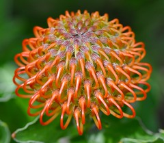 pincushion protea flower (cowboy6688) Tags: california macro closeup sandiego wildanimalpark safaripark escondido blinkagain bestofblinkwinners pincushionproteaflowers 针垫花