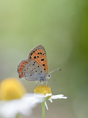 Small Copper (Polotaro) Tags: nature pen butterfly bug garden insect olympus 自然 庭 ep1 虫 蝶 昆虫 ペン チョウ オリンパス ベニシジミ tamronsp90mmf28macro1172b