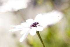 hello spring !!! (istar-famiredo) Tags: flowers flores primavera 50mm spring moya margaritas canon500d daysis afgc