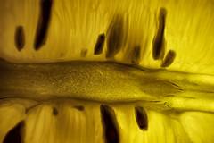 Shades of Citrus (Joshua Drew Vaughn) Tags: food macro yellow fruit juicy lemon flash tasty seeds pulp citrus magnified sour 水果 anhui hefei 黄色 种子 安徽 合肥 好吃 柑橘 食品 宏 酸 柠檬 闪光 放大 多汁 黄果 纸浆