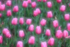 IMG_1154 (MUMU.09) Tags: flowers macro fleur yellow jaune photo foto kim gelb giallo tulip bild gul 照片 tulipa imagem tulipe tulpe amarela الصور tulipano 鬱金香 sarı tulp 写真 tulipán flori 黄色 郁金香 チューリップ tulpan صورة желтый żółty 圖片 фото イメージ 황 फोटो тюльпан lâle vàng cây τουλίπα лале 튤립 hương amarill изображение κίτρινο 색 पीला buí herbacée ทิวลิป สีเหลือง couleurvive liliacée tiúilip الخزامى छवि ट्यूलिप uất صفرo tiúilipe mumu09