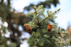 Spruce Cones (rawr-ROAR) Tags: tree nature outdoors branch bokeh twigs sprucetree sprucecones