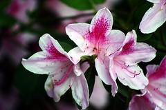 Azalea Flowers E2 (Michael A Tipton) Tags: azalea