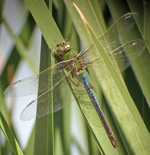 Common Green Darner male