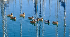 La Ciotat : Swimming in the harbor (Pantchoa) Tags: france port reflections puerto nikon harbour ducks provence sailboats masts reflets reflejos patos canards veleros laciotat mts voiliers mstiles d90 1685mmf3556 ringexcellence