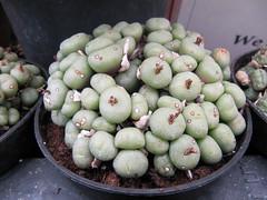 IMG_4421 (wallygrom) Tags: cactus england cacti westsussex succulents angmering cactuscollection manornursery manornurseries