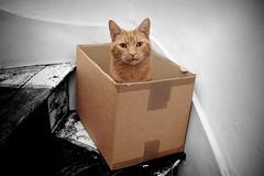 Mr Squeakton (Dom Walton) Tags: orange stairs cat ginger box cardboard indie carton domwalton mrsqueakton