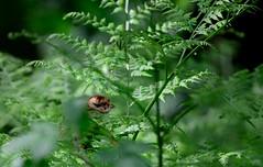 Cookie (Gamtosfoto - Andrius Čeponis) Tags: nature birds hazelgrouse bonasabonasia nikond7000
