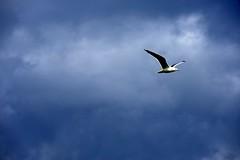 Seagull in blue (Ornella D. (ornedra)) Tags: blue sky seagulls birds animals blu cielo animali gabbiani ucceli