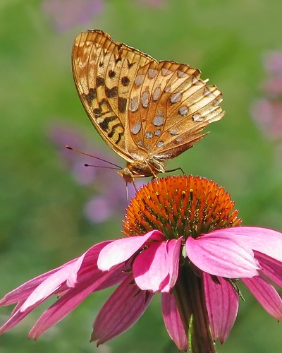 Great spangled fritillary on pink