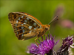 High Brown Fritillary (Grasping-air) Tags: brown high fritillary