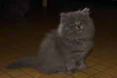 Fille de Circe, persanne bleue de deux mois (lolodoc) Tags: blue cat persian chat chaton persan