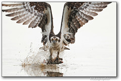 Osprey Fishing #1